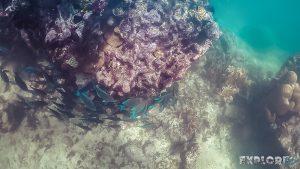 Belize Caye Caulker Blue Tang Surgeonfish Snorkeling Backpacker Backpacking Travel