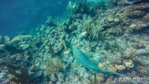 Belize Caye Caulker Nurseshark Shark Scuba Diving Backpacker Backpacking Travel