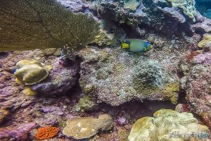 Belize Caye Caulker Scuba Diving Queen Angelfish Backpacker Backpacking Travel