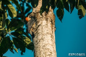 Mexico Palenque Woodpecker Backpacker Backpacking Travel