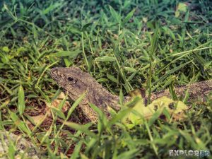 Mexico Tulum Lizard Grass Backpacker Backpacking Travel