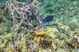 Panama Bocas Del Toro Scuba Diving Divesite Lunchbox Surgeonfish Backpacking Backpacker Travel