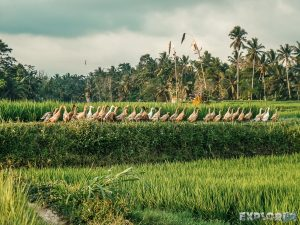 Indonesia Ubud Ricefields Geese Backpacking Backpacker Travel
