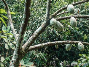 Indonesia Bali Cocoa Tree Backpacker Backpacking Travel