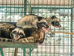 Indonesia Bali Kopi Luwak Coffee Civet Cats Backpacker Backpacking Travel