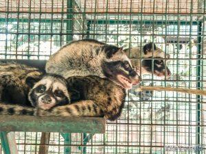 Indonesia Bali Kopi Luwak Coffee Civet Cats Backpacker Backpacking Travel
