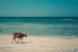 Indonesia Gili Trawangan Cow Beach Backpacker Backpacking Travel