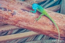 cuba santa clara anole gecko backpacker backpacking travel