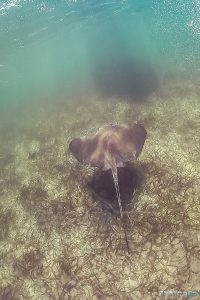 Belize Caye Caulker Snorkeling Stingray Backpacker Backpacking Travel 4