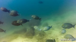 Panama Isla Coiba Surgeon Fish Backpacking Backpacker Travel