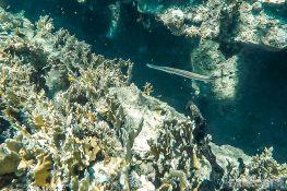 Panama San Blas Kuna Yala Isla Perro Dog Island Steamboat Wreck Trumpetfish Snorkeling Backpacking Backpacker Travel