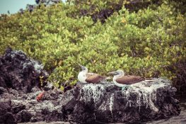Ecuador Isabela Galapagos Boobies Backpacking Backpacker Travel