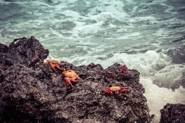 Ecuador Isabela Galapagos Crab Las Tintoreras Backpacking Backpacker Travel