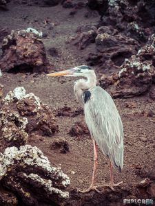 Ecuador Isabela Galapagos Heron Backpacking Backpacker Travel