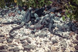Ecuador Isabela Galapagos Iguana Las Tintoreras Backpacking Backpacker Travel