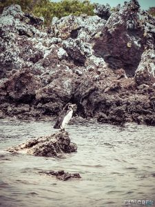 Ecuador Isabela Galapagos Penguin Backpacking Backpacker Travel