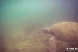 Ecuador Isabela Galapagos Snorkeling Turtle Las Tintoreras Backpacking Backpacker Travel