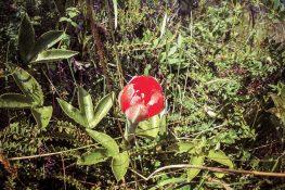 Ecuador Otavalo Laguna Cuicocha Flower Backpacking Backpacker Travel