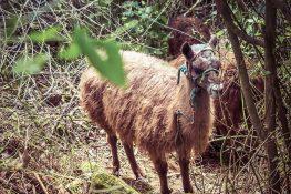 Ecuador Otavalo Peguche Llama Backpacker Backpacking Travel