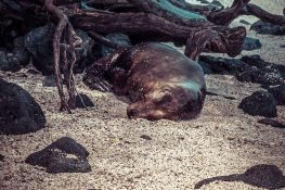 Ecuador Santa Cruz Galapagos Beach Sealion Backpacking Backpacker Travel
