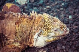 Ecuador Santa Cruz Galapagos Darwin Station Iguana Backpacking Backpacker Travel