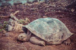 Ecuador Santa Cruz Galapagos Darwin Station Turtles Backpacking Backpacker Travel