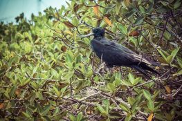 Ecuador Santa Cruz Galapagos Fregate Bird Backpacking Backpacker Travel