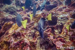 Ecuador Santa Cruz Galapagos Gordon Rocks Scuba Diving Razor Surgeonfish Backpacking Backpacker Travel