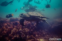 Ecuador Santa Cruz Galapagos Gordon Rocks Scuba Diving Turtle Backpacking Backpacker Travel