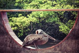 Ecuador Santa Cruz Galapagos Pelican Fishmarket Backpacking Backpacker Travel