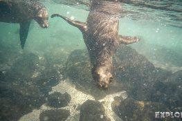 Ecuador Santa Cruz Galapagos Snorkeling Sealion Backpacking Backpacker Travel