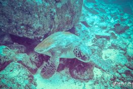 Galapagos San Cristobal Kicker Rock Scuba Diving Turtle Backpacking Backpacker Travel