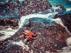 Galapagos Santa Cruz Darwin Station Beach Crab Backpacking Backpacker Travel