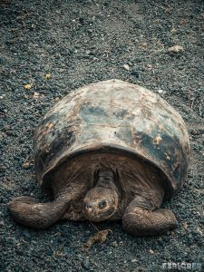 ecuador isabela galapagos centro de crianza turtle backpacker backpacking travel