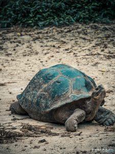 ecuador isabela galapagos centro de crianza turtle backpacker backpacking travel