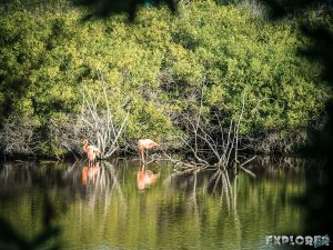 ecuador isabela galapagos flamingo pozas salinas de puerto villamil backpacker backpacking travel