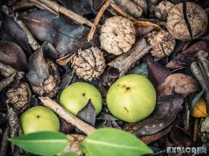 ecuador isabela galapagos pozas salinas de puerto villamil manchineel poisonous apples backpacker backpacking travel