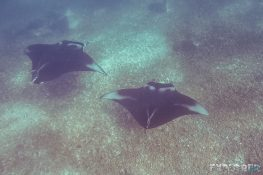 Indonesia Komodo Manta Ray Scuba Diving ExplorerVibes Backpacking Travel 3