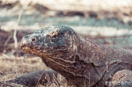 indonesia flores komodo dragon backpacking backpacker travel