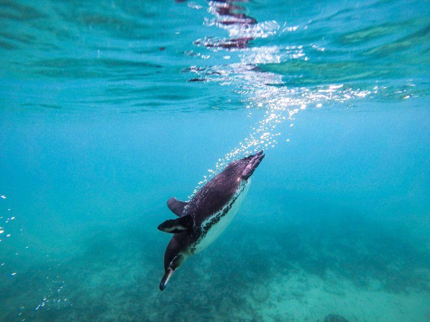 Ecuador Galapagos Santa Cruz Penguin Dive Spot